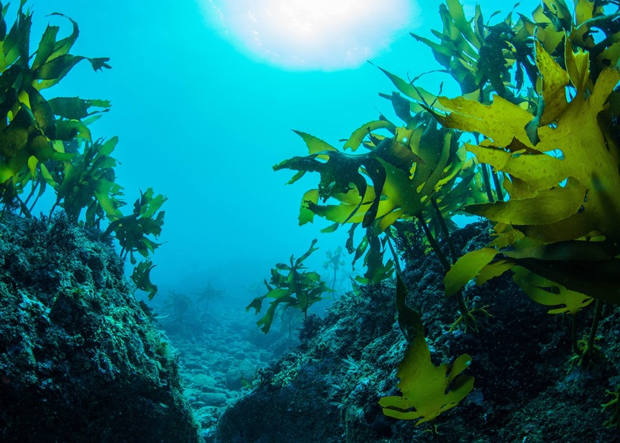 Kelp Helps Balance Thyroid Hormones